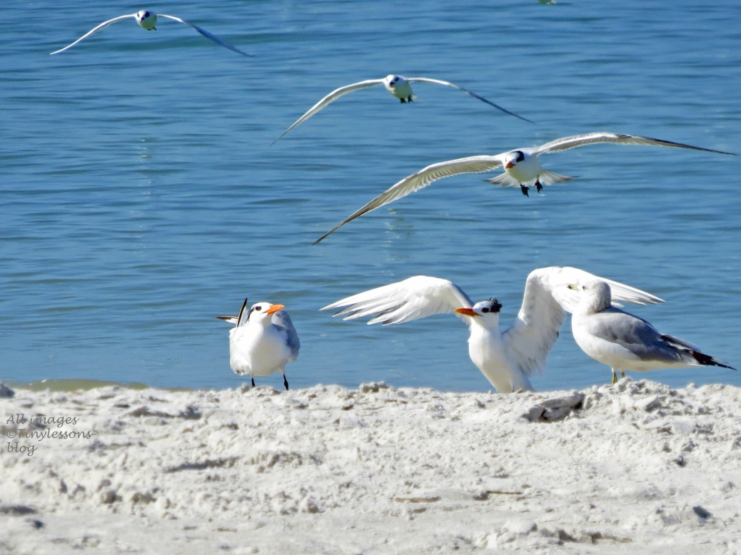 terns coming in for landing