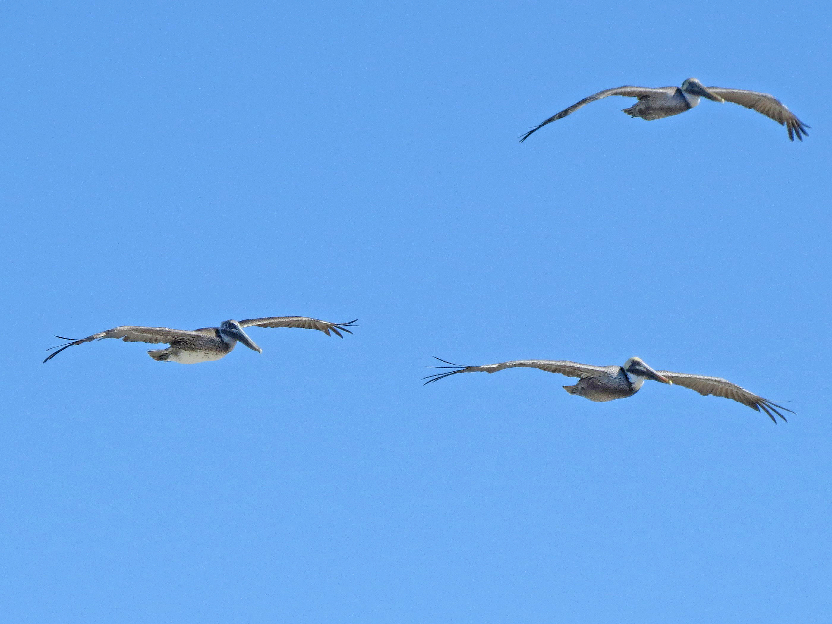 trio of flying pelicans