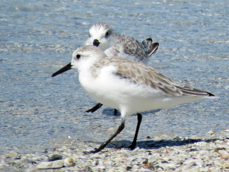 two sanderlings on the beach
