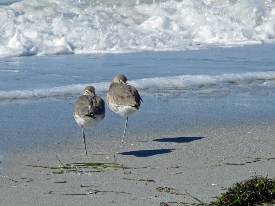 Two Willets and one pair of feet...