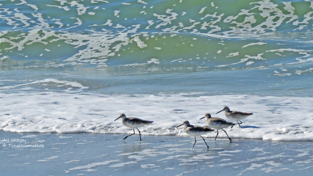 willets on stormy sand key FL beach