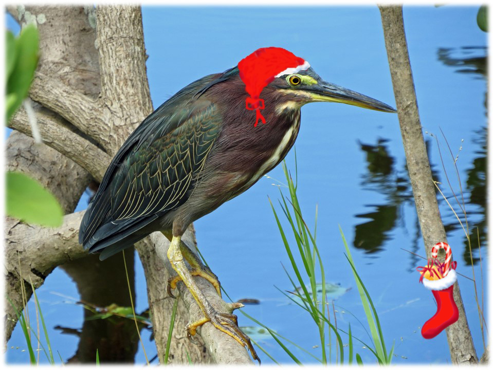Xmas green heron and his stocking
