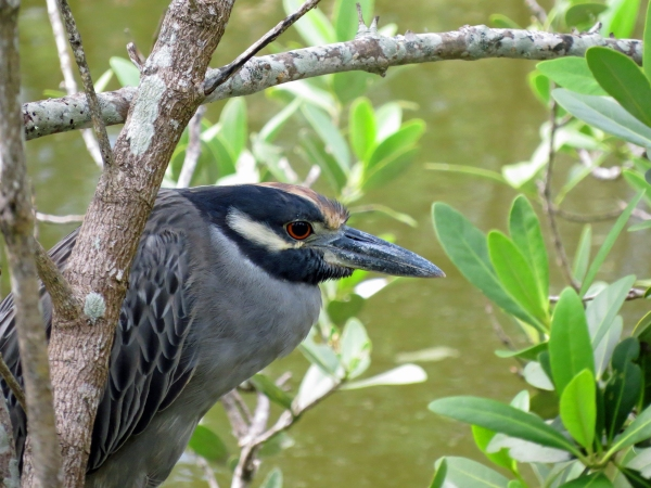 yellow crowned night heron freezing CF