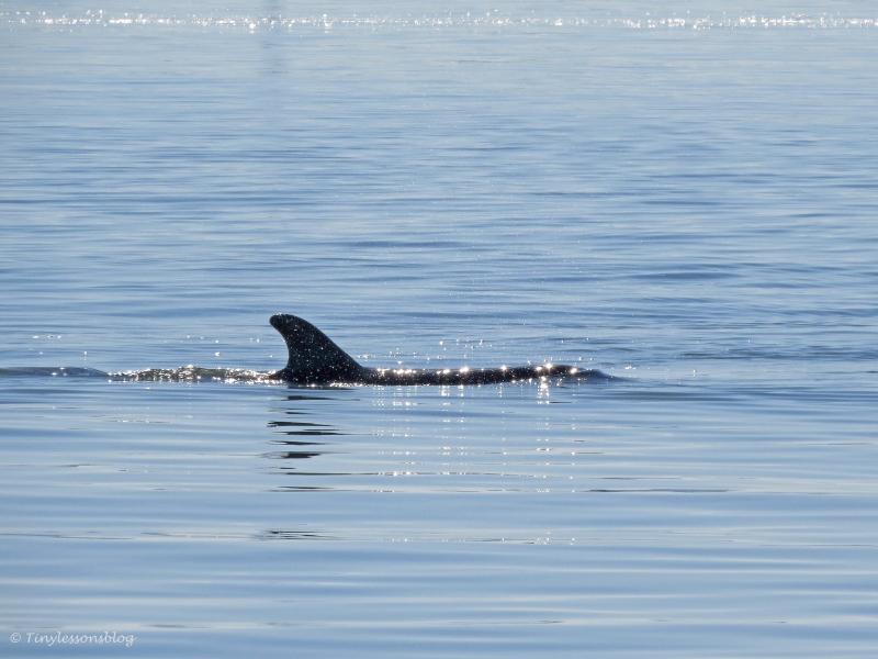 A Bottlenose Dolphin near Caladesi Island