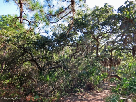 caladesi island nature trail live oak by tiny