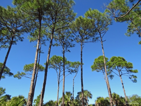 caladesi island nature trail pines2 by tiny