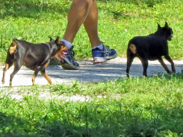 dogs walking their human in nature reserve 3