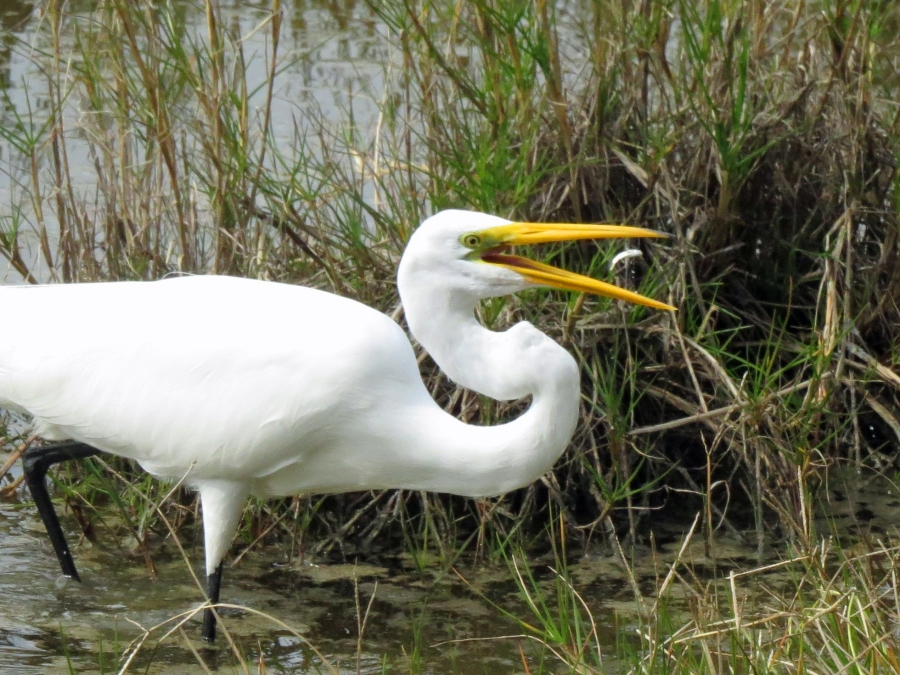 fish flying into the mouth of a great egret