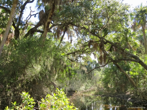 caladesi island freahwater pond