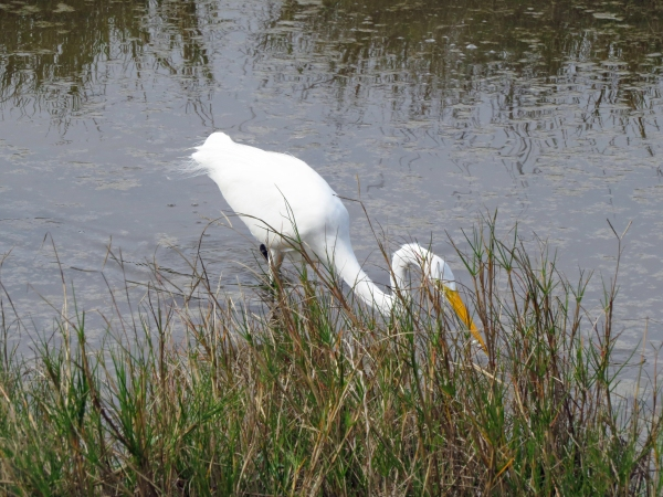 grea egret hunting3