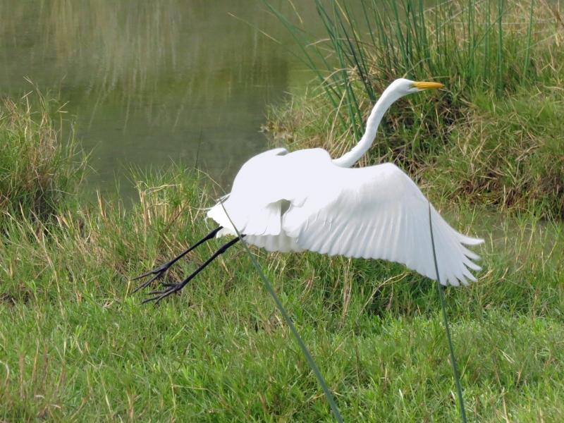 great egret flying home