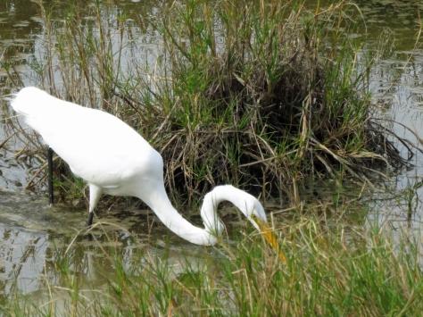 great egret hunting