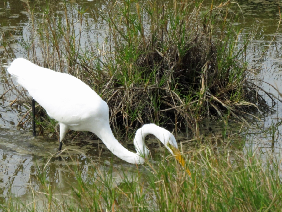 great egret hunting