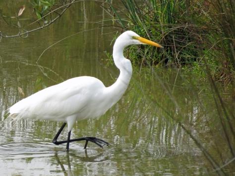 great egret in salt marsh