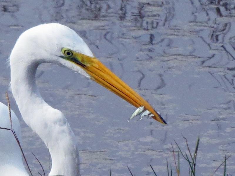 great egret with three fish closeup