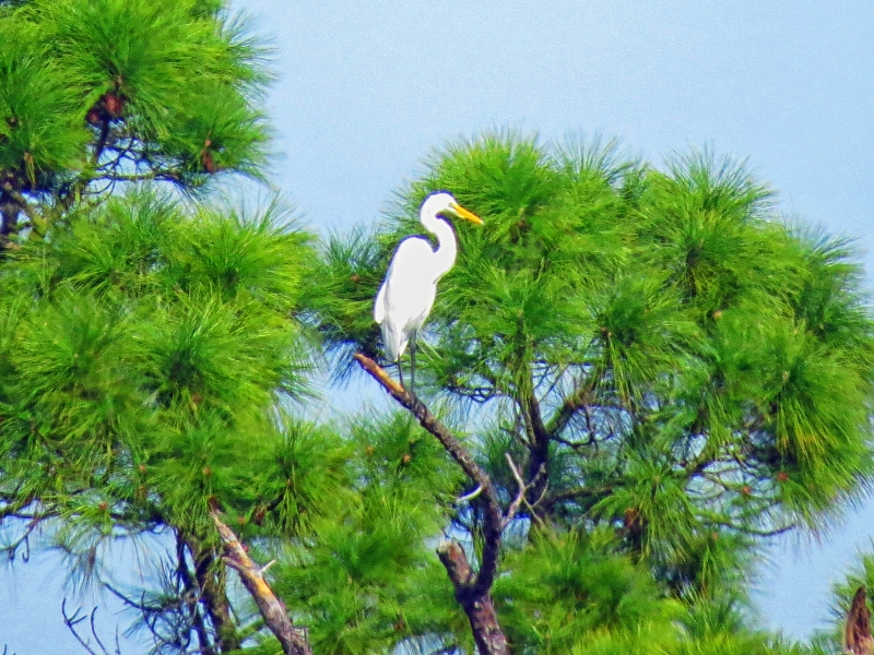 One of the Great Egrets on Honeymoon Island