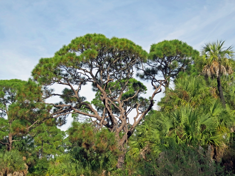 HM island pine and palm forest