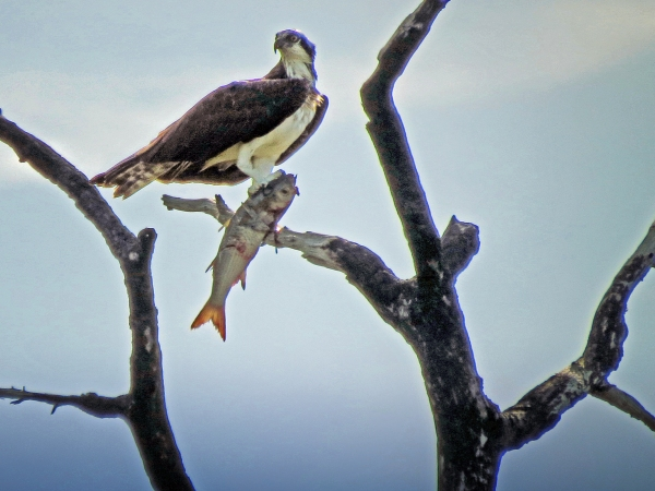 HM osprey with a fish2