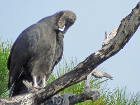 HM park american black vulture sleeping