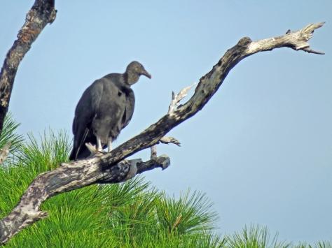 HM park american black vulture