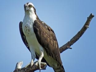 HM island osprey