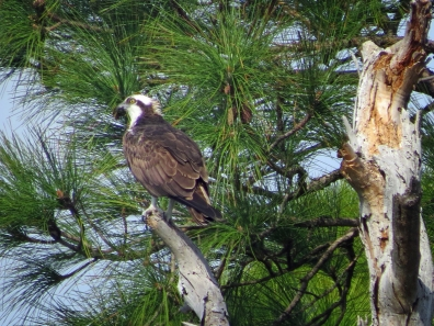 HM park osprey in a pine tree