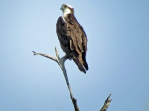 HM park osprey in a tree