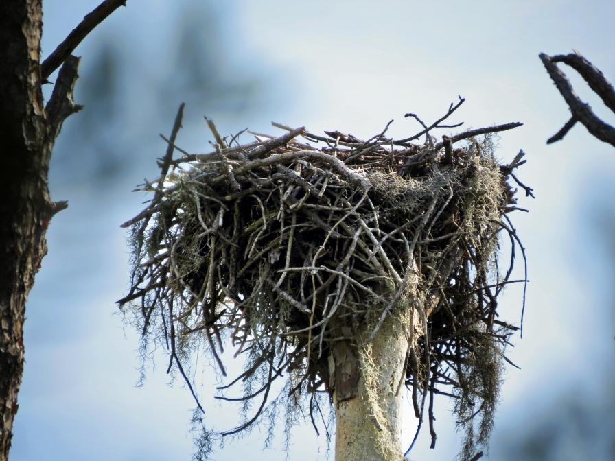 HM island osprey nest 1