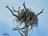 HM island osprey nest