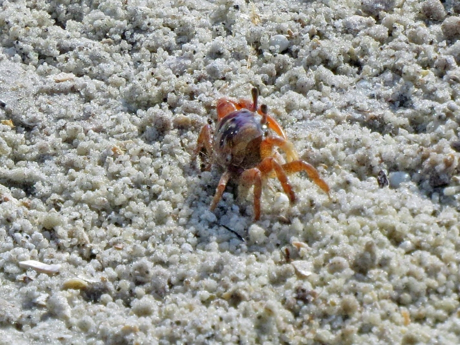 HM sand crab2