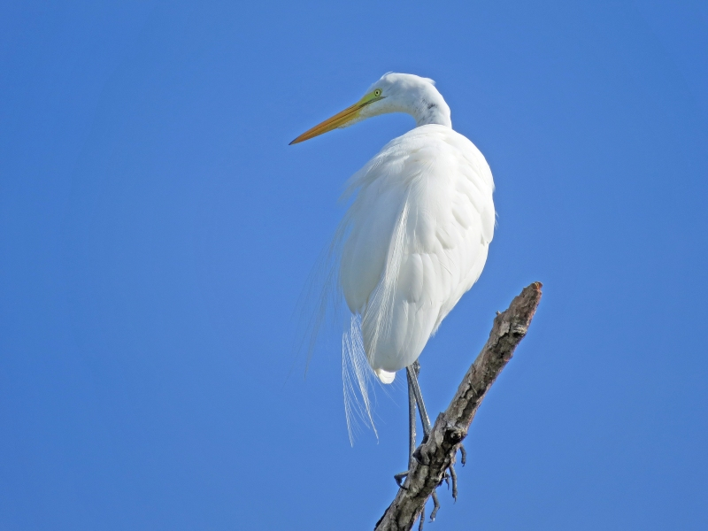 Another Great Egret