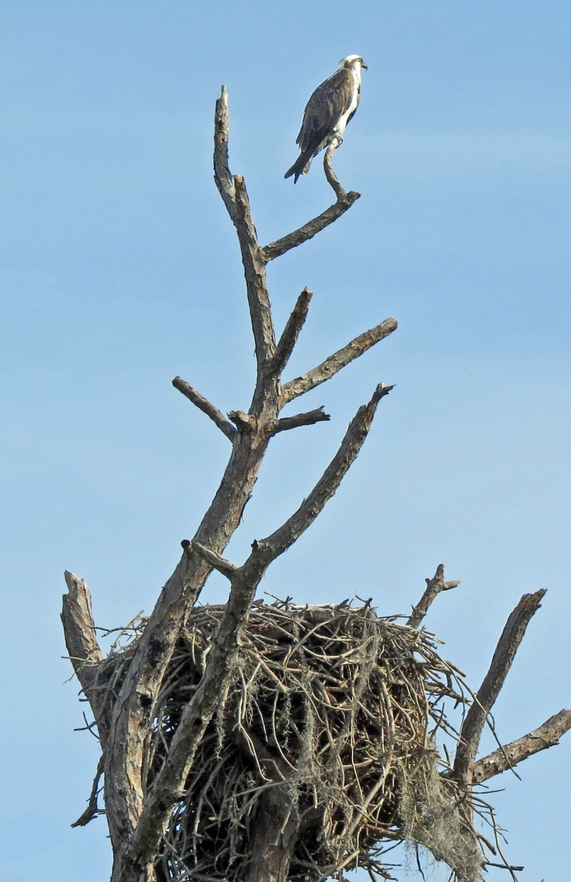 HMI park osprey and her nest