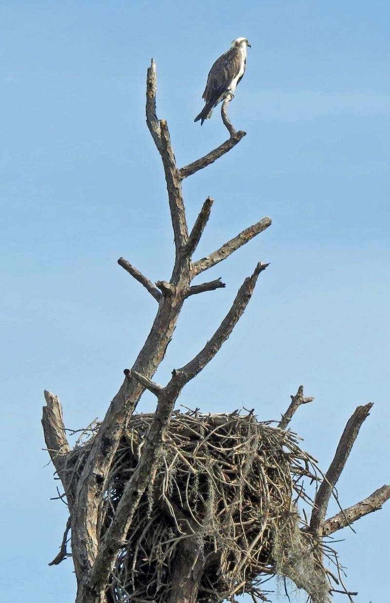 HMI park osprey and her nest
