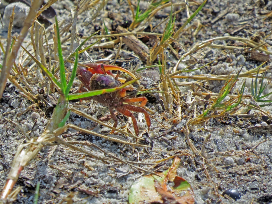 HMI sand crab