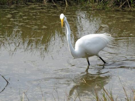 hreat egret hunting 2