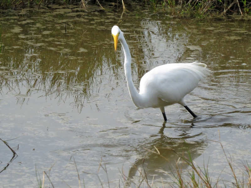 hreat egret hunting 2