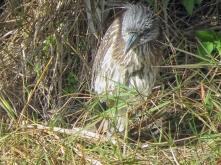 Juvenile Blackcrowned Night Heron