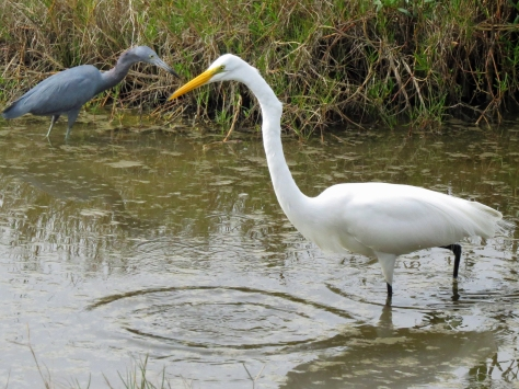 little blue heron and great egret fishing