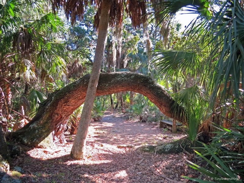 Caladeai island live oak on the nature trail by tiny