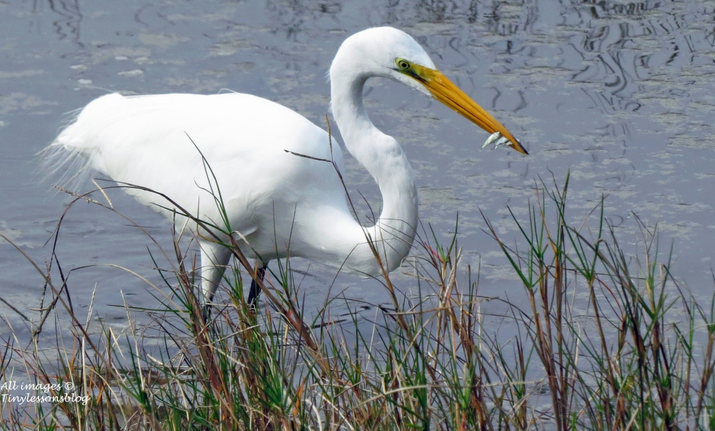 Lunch time for great egret