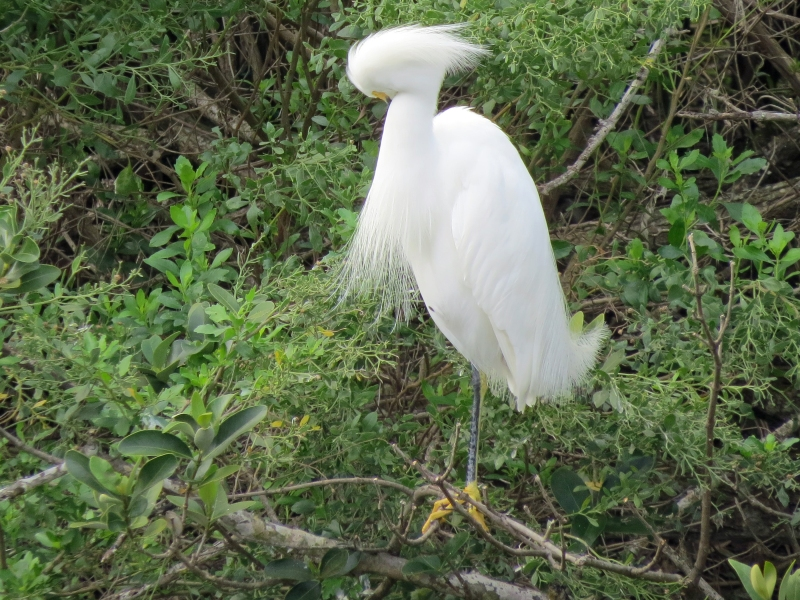 male snowy heron grooming on new year