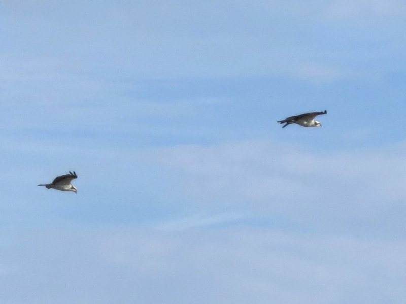 two ospreys