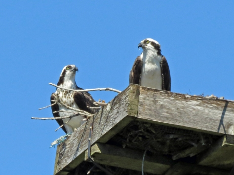 mama and papa osprey scaning the skies