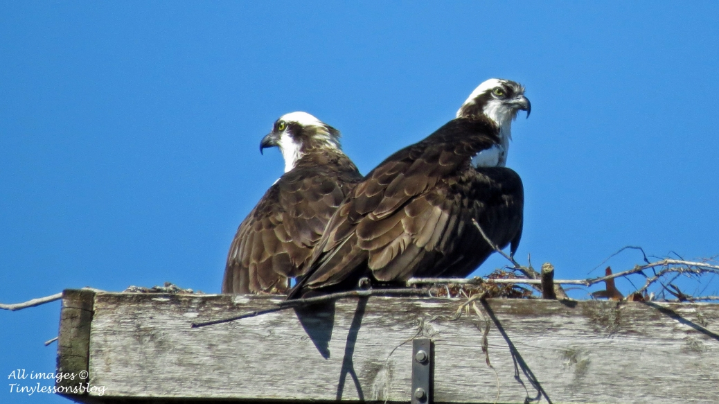 Mama and papa together in the nest