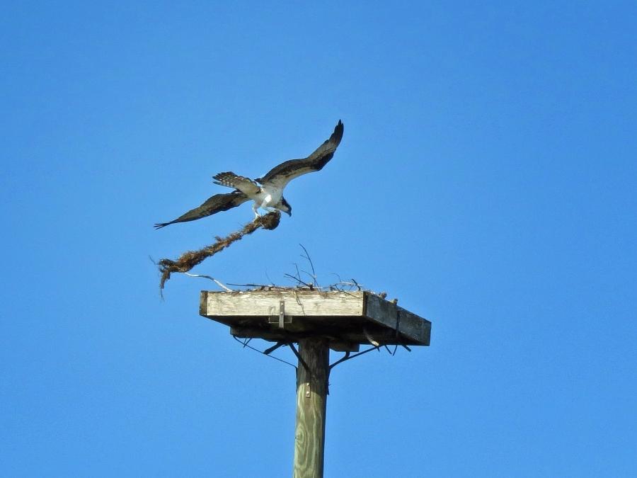 osprey delivers nest materials