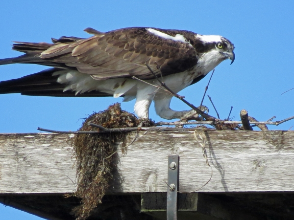 mama osprey eager to build