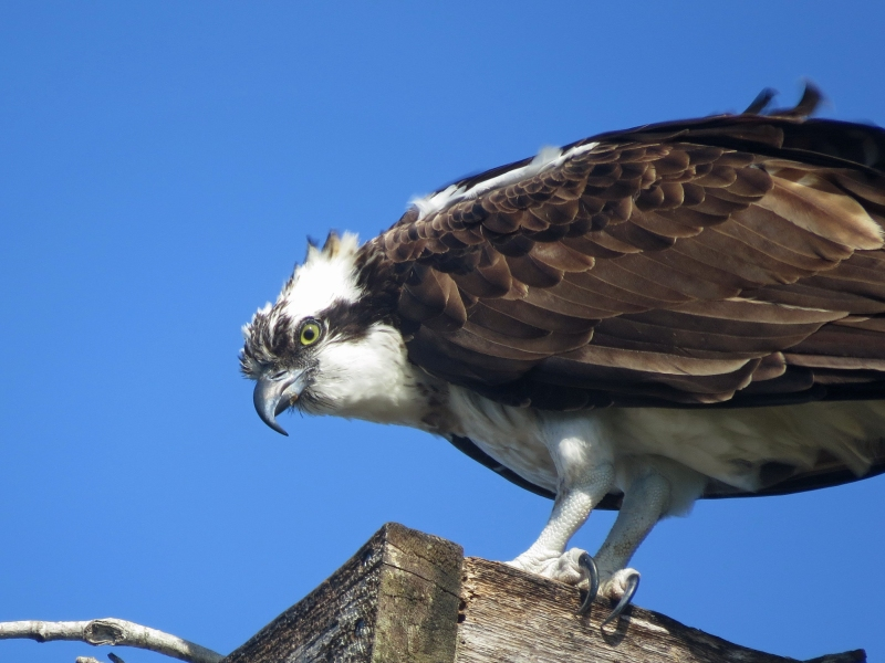 osprey holding on in the wind