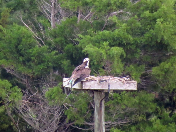 Mama osprey in the nest