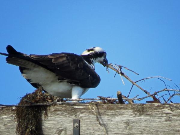 osprey redecorating