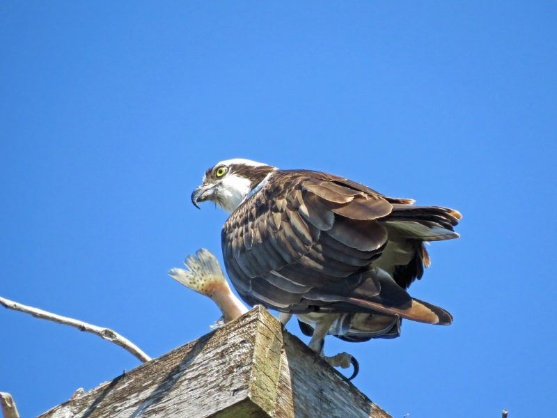 osprey with a fish in the nest